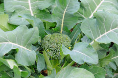 Broccoli Plant Stock Images