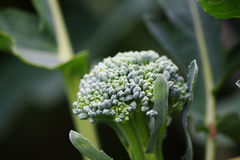 Broccoli plant Royalty Free Stock Image