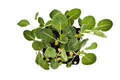 Broccoli plants. A nine cell pack of young broccoli plants isolated on a white background royalty free stock images