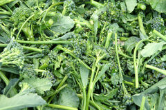 Broccoli raab, Italian Broccoli Rabe. Brassica rapa subsp rapa var. rapifera, bluish green leaves are sold as rapini, flowerng buds with upper few leaves as royalty free stock photo