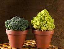 Broccoli and romanesco cauliflower in clay pot Royalty Free Stock Photos