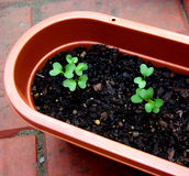Broccoli Seedlings stock photos