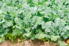 Broccoli som växer i fältet åkerbrukt lantbruk för nya organiska grönsaker jordbruksmark arkivfoto