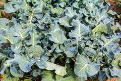 Broccoli som växer upp arkivfoto