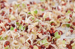 Broccoli sprouts Stock Photography
