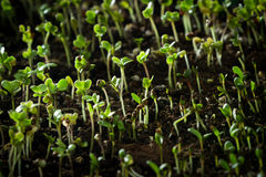 Broccoli sprouts Royalty Free Stock Photo