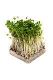 Broccoli Sprouts-Brassica oleracea Stock Photo