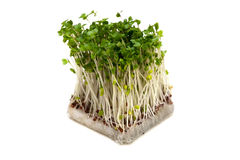 Broccoli Sprouts-Brassica oleracea Stock Photos