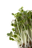 Broccoli sprouts growing Royalty Free Stock Images