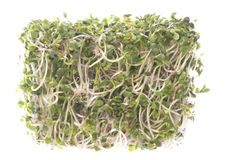 Broccoli Sprouts Macro Isolated Stock Image