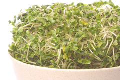 Broccoli Sprouts Macro Isolated Stock Images