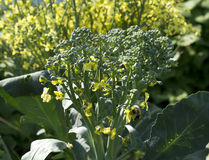 Broccoli Starting to Bloom with Bee Royalty Free Stock Photos