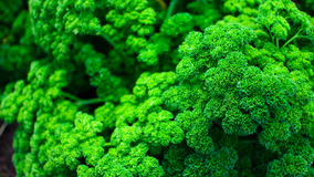 Broccoli Texture. Stock Photography
