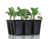Broccoli to be. Fresh broccoli bedding plants in growing container on white Stock Photos