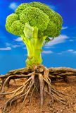 Broccoli tree Stock Images