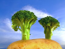 Broccoli Trees on Potato Hill Royalty Free Stock Images