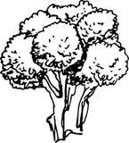 Broccoli.Vector Illustration Royalty Free Stock Photos