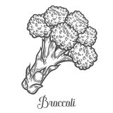 Broccoli vector. Isolated on white background. Broccoli food ingredient.. Engraved hand drawn illustration in retro vintage style. Organic Food, sauce, dishes Stock Photography