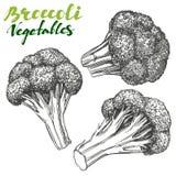 Broccoli vegetable set. Detailed engraved. Vintage hand drawn vector illustration   Stock Photos