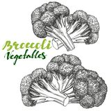Broccoli vegetable set. Detailed engraved. Vintage hand drawn vector illustration   Stock Photography
