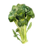 Broccoli. Watercolor image of broccoli on white background Stock Image