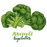 Broccoligrönsakuppsättning Inristat detaljerat Dragen vektorillustration för tappning hand royaltyfri illustrationer