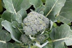 Broccolo crescente Fotografia Stock Libera da Diritti