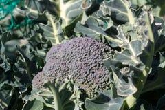 Broccolo crescente Fotografia Stock