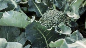 Broccolo fresco Immagine Stock