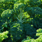 Broccolo verde fotografie stock libere da diritti