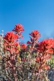 Brocha india del desierto en el cielo azul Imagen de archivo