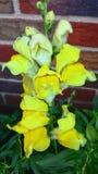 Broche amarilla Fotografía de archivo