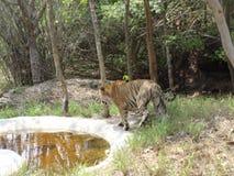 broche cercana del tigre en el parque nacional Foto de archivo