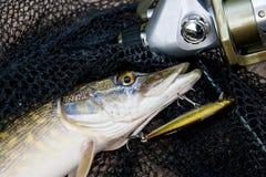 Brochet d'eau douce avec l'attrait de pêche dans la bouche et l'équipement de pêche Photo libre de droits
