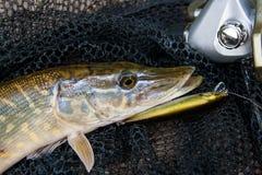 Brochet d'eau douce avec l'attrait de pêche dans la bouche et l'équipement de pêche Image libre de droits