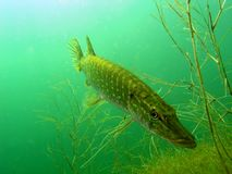 brochet d'esox Images stock