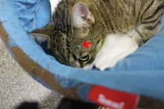 Brocken claw sticked in head after fight between cats red arrow Stock Images