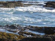 Brockfåglar och fiskmås på Laguna tidvattentips, Kalifornien Arkivbilder
