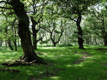 Brocton Coppice Stock Photography