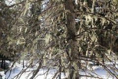 Brodaczka liszaj drapował od gałąź w Maine conifer lesie obrazy stock