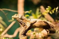 Brodata do agamá em animais selvagens Sydney fotografia de stock