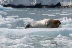Brodata foka Svalbard, Norwegia, - zdjęcia royalty free