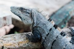 Brodata iguana odpoczywa na plaży Kuba obrazy royalty free