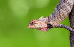brodata indyjska wielka jaszczurka Obrazy Stock