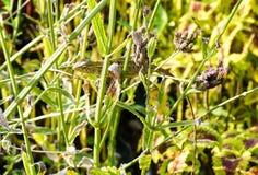 Brodata smok jaszczurka na zieleni gałąź Zdjęcia Stock