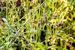 Brodata smok jaszczurka na zieleni gałąź Obrazy Stock