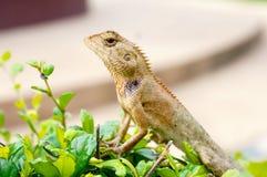 Brodata smok jaszczurka na zielonym liściu Obrazy Stock