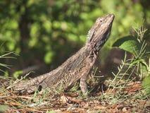 Brodata smoka australijczyka jaszczurka Obrazy Royalty Free