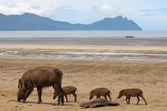 Brodate świnie Borneo Obraz Royalty Free