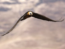 Brodatego sępa łopotanie swój skrzydła gdy ono lata w kierunku ciebie Zdjęcie Stock